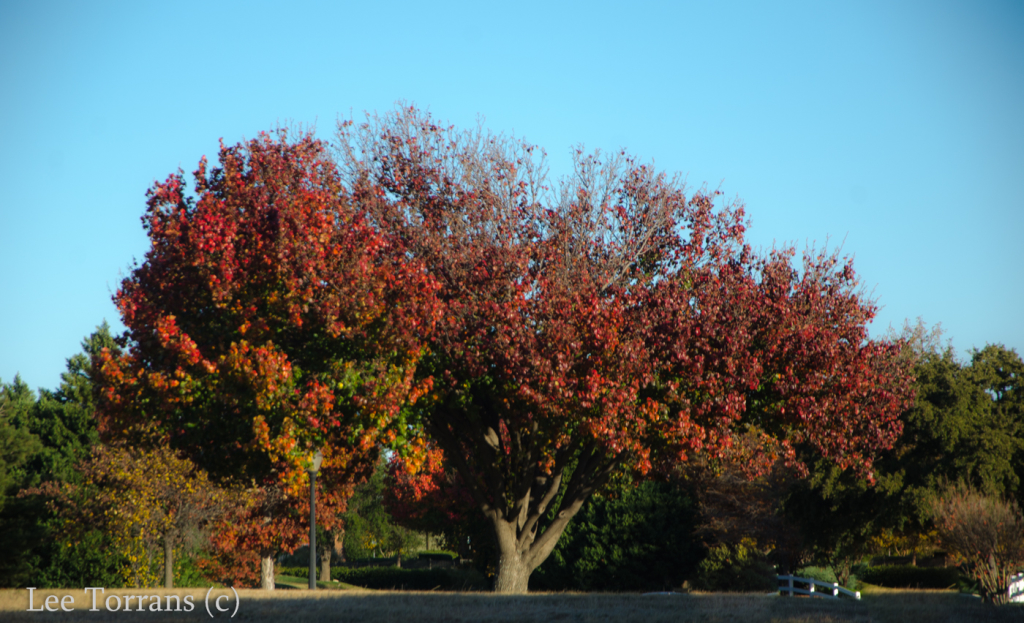 Fall Color with Bradford Pear