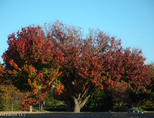 Bradford Pear Fall Color