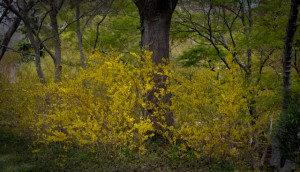 Lee Ann Torrans - Forsythia - Dallas Blooms