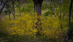 Lee Ann Torrans - Forsythia - Dallas Blooms