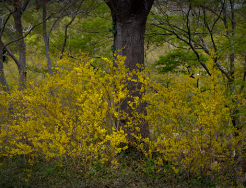 Forsythia – Early Yellow Blooming Texas Shrub