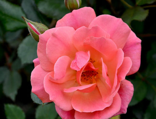 Carefree – A Texas Shrub Rose