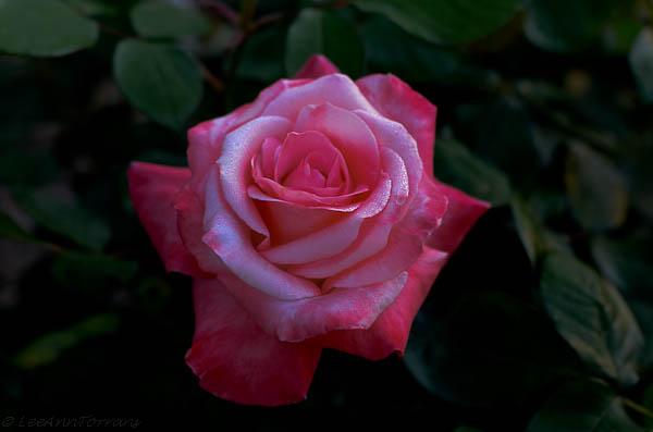 Texas- Rose- Gemini-Lee-Ann-Torrans
