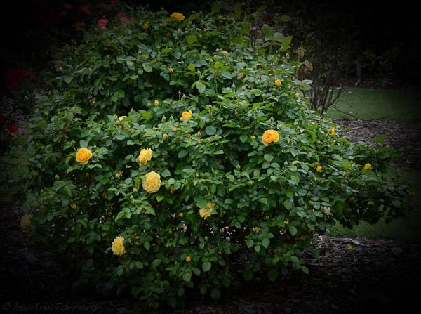 Julia Child Rose-2