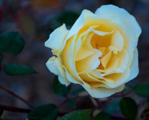 Lady Hillingdon Rose