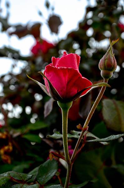 Texas Roses - Lee Ann Torrans