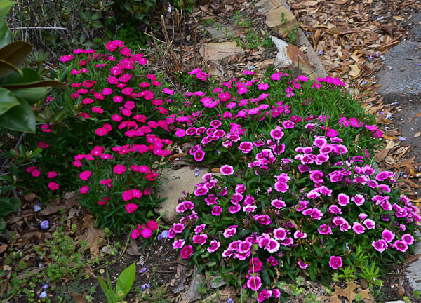 Texas Perennial - Pinks or Dianthus