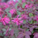 Loropetalum-Purple - Flowering-Shrub Lee Ann Torrans