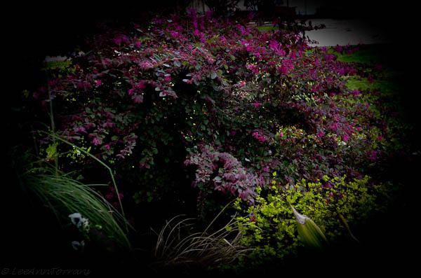 Loropetalum-Purple - Flowering-Shrub Lee Ann Torrans