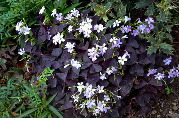 6 low maintenance impossible to kill plants to make your home more these striking triangular deep purple leaves function as the backdrop for the pink or white flowers that seem to be blooming constantly mightylinksfo Gallery