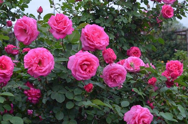Lee-Ann-Torrans-Roses-Prairie-Breeze