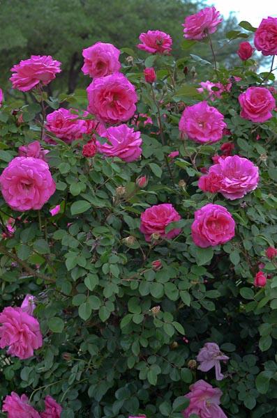 Lee-Ann-Torrans-Roses-Prairie-Breeze-2