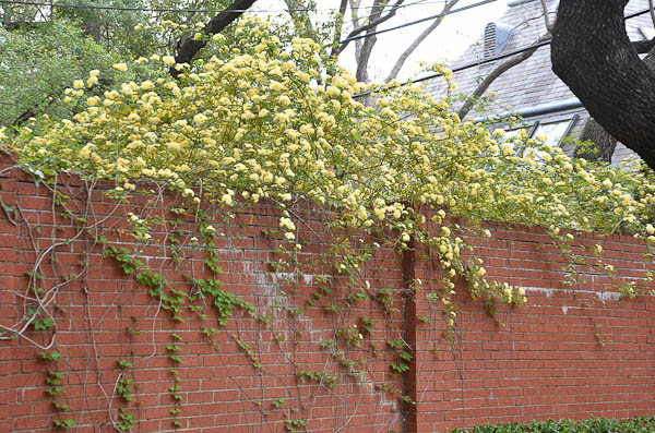 Lee-Ann-Torrans-Texas-Lady-Banksia-2