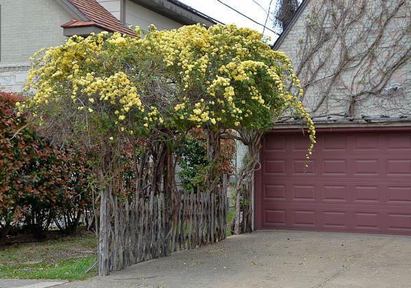 Lee-Ann-Torrans-Texas-Lady-Banksia-4