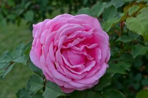 Lee-Ann-Torrans-Texas-Roses-Belindas-Dream