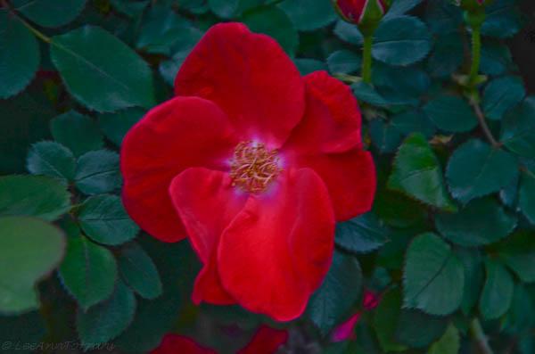 Lee-Ann-Torrans-Texas-Roses-HomeRun-4