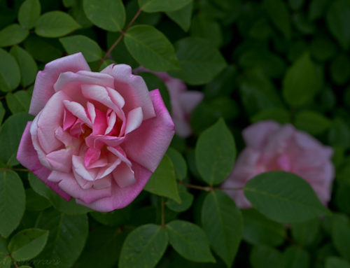McClinton Tea Rose