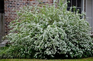 Bridal Wreath Sprirea makes a beautiful corner shrub planting. Please give it room and don not cut its branches after it blooms.