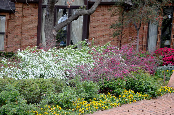 Spirea blooming in tandem with Loropetalum and Red Ruffle Azaleas.