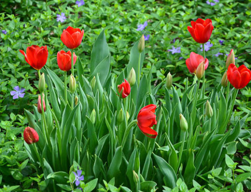 Dallas Field of Tulips in Vinca Minor