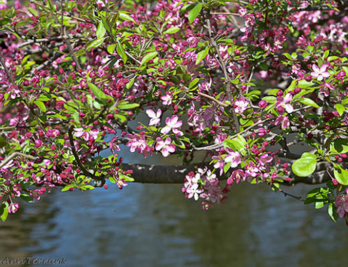 Crabapple – Early Blooming Tree