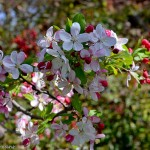 LeeAnnTorrans-Crabapple-Tree-Dallas-23