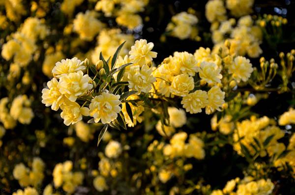 LeeAnnTorrans-Lady Banksia