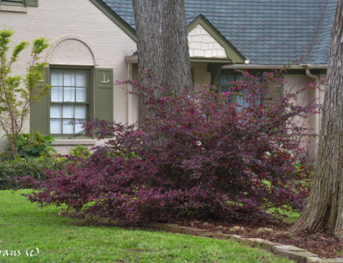 Loropetalum Purple Flowering Shrub