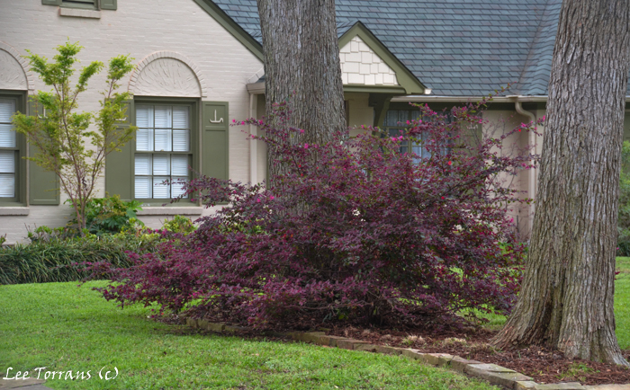 Unpruned Loropetalum allowed to grow to its natural size and state.