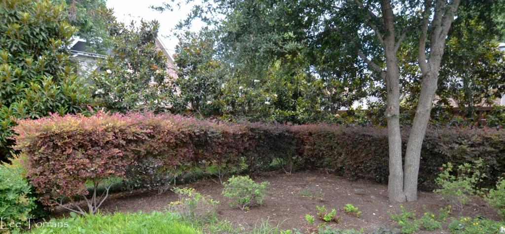 Loropetalum as a sheared hedge. Ugh.