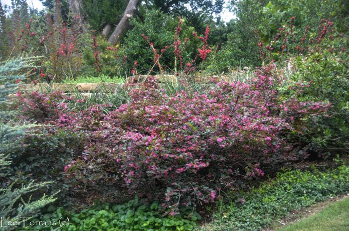 Loropetalum with Sweet Violet Underplanting