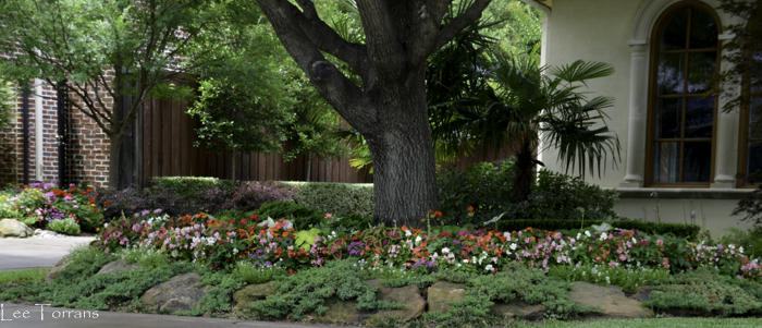 Loropetalum_Creeping_Juniper_Texas_Lee_Ann_Torrans_Dallas_Gardening-2