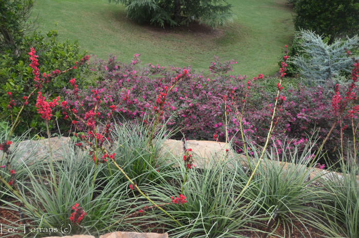 Loropetalum with Crimson Yuccas