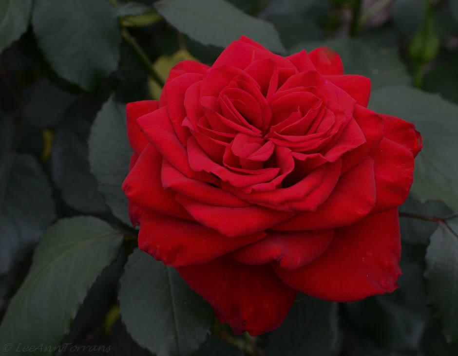 Olympiad-Texas-Hybrid Tea Rose