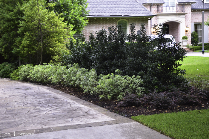 Pittosporum comes in solid green or a variegated leaf that creates a light colored palette for color blending in your garden. It also comes in full size (over three to four feet) and dwarf.
