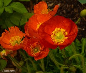 Poppies_Texas_Lee_Ann_Torrans-2