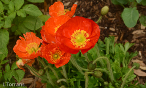 Growing Poppies in Texas