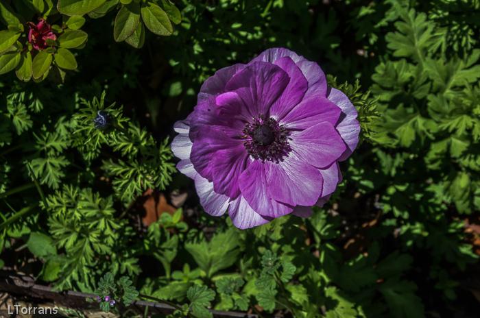 Poppies_Texas_Lee_Ann_Torrans-4