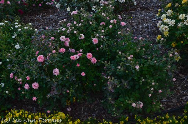 Cupcake Miniature Rose for the Texas Garden