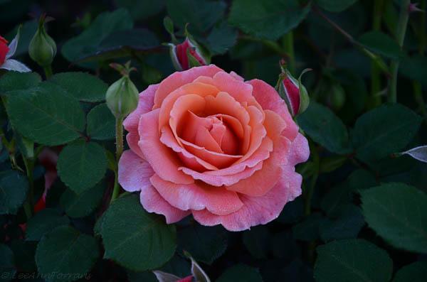 Easy-Does-It-Shrub-Rose-22
