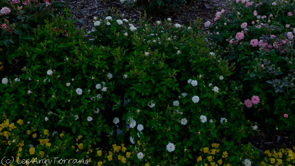 Green-Ice-Miniature-Rose