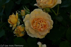 Honey-Perfume-Texas Rose