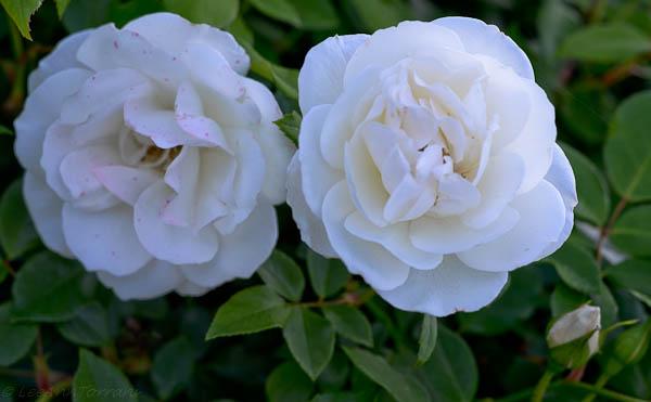 Ice-Berg-Rose-