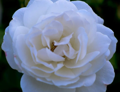 Iceberg Roses Texas Shrub Rose