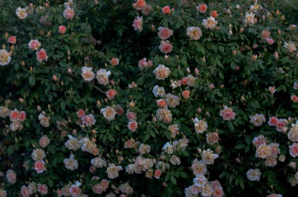 Lee-Ann-Torrans-Noisette-Shrub-Rose-Crepuscule-15