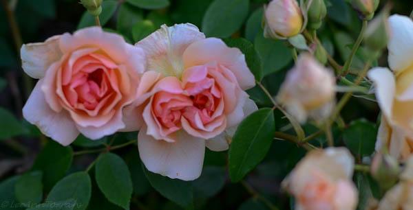 Lee-Ann-Torrans-Noisette-Shrub-Rose-Crepuscule-16
