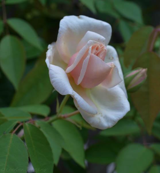 Lee-Ann-Torrans-Texas-Bourbon-Rose-Reve-D'Or