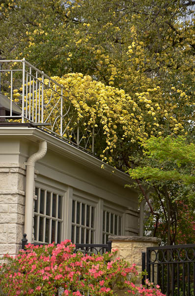 Lee-Ann-Torrans-Texas-Lady-Banksia-100