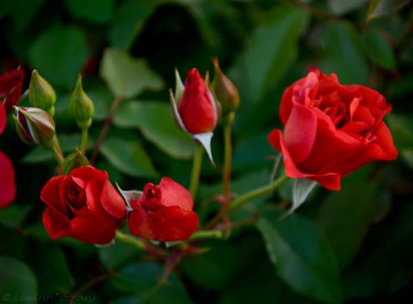 Lee-Ann-Torrans-Texas-Roses-Cinco-de-Mayo