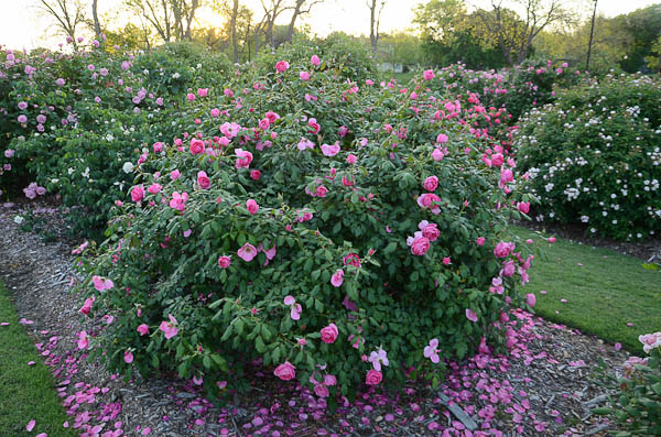 Lee-Ann-Torrans-Texas-Roses-Country-Dancer